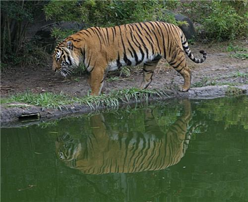 The Tigers of Sunderbans-Credt Google