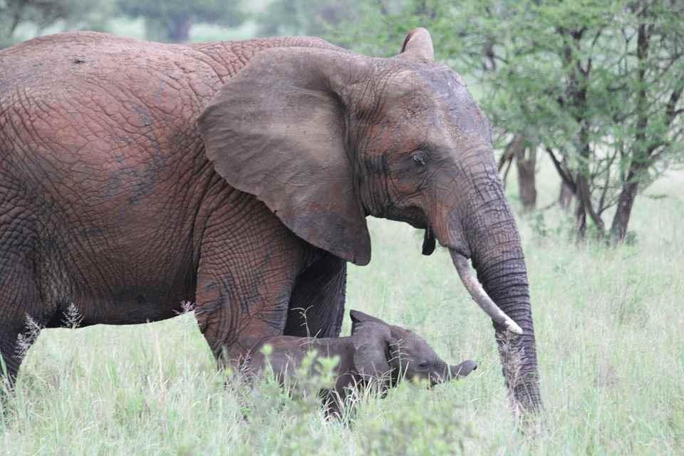 Elephant Tarangire Park