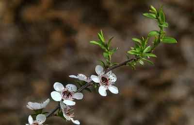 blog-tea-tree-plant
