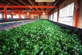 Evergreen Tea Industry