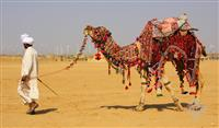 Camel Safari in Jaisalmer Sheesh Mahal Desert Camp
