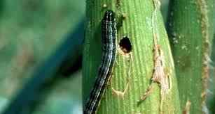 Fall Armyworm detected in Arunachal